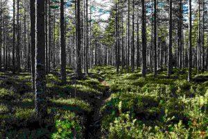иглолистни гори в Естония